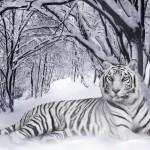 Зверь — Белый тигр