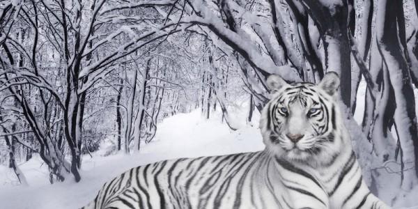 Белый тигр зимой