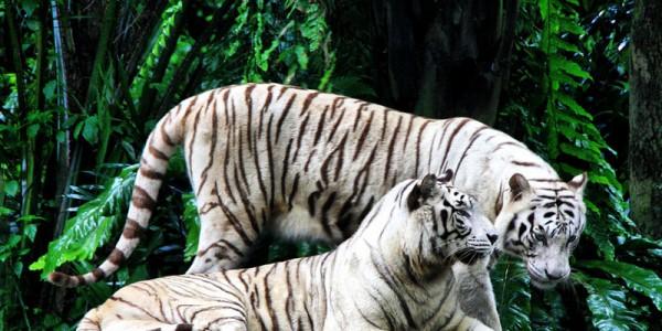 Влюблённая пара белых тигров