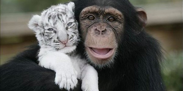 Обезьянка Анджана и котята пантеры