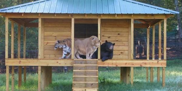 Лев, медведь и тигр