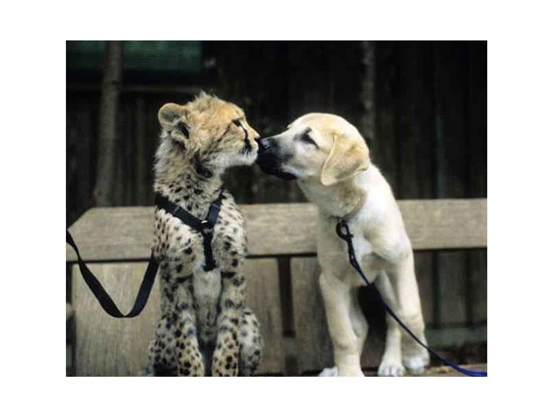 Гепард и антолийская овчарка