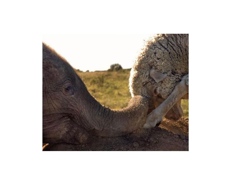 Баран Альберт и слонёнок