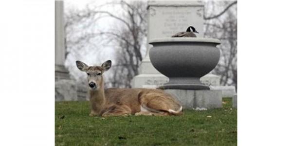 Канадская казарка и антилопа