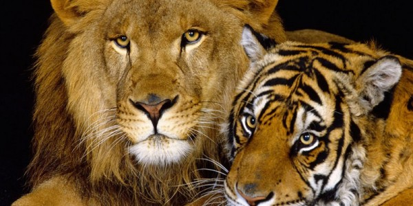 Лев и тигрица
