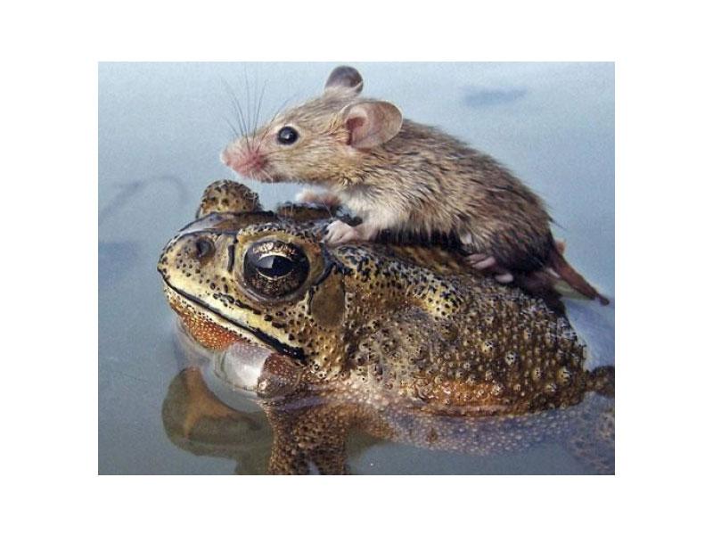 Мышь на спине у лягушки