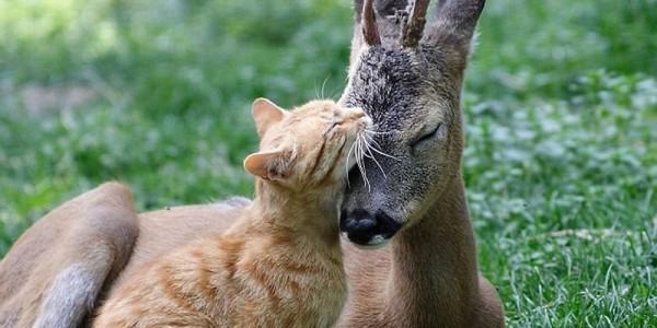 Косуля и рыжий кот
