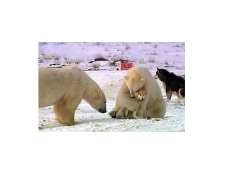 Белый медведь и лайки