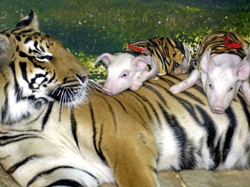 Поросята и тигрица