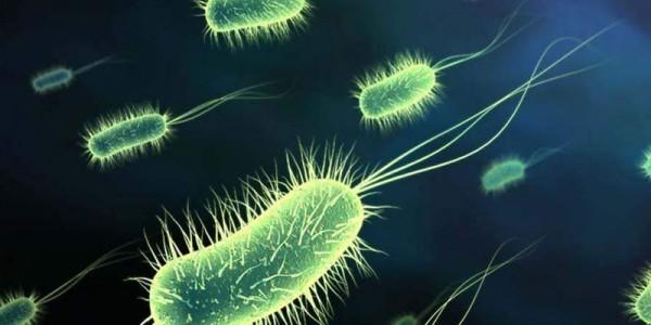 Бактерии E. coli