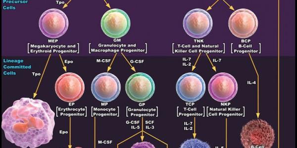 Схема деления стволовых клеток