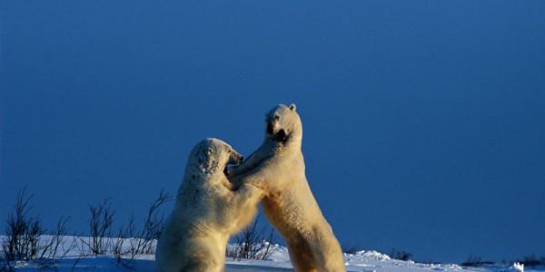 Сила белых медведей