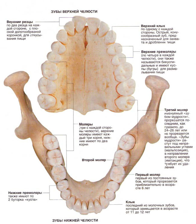 Зубы верхней и нижней челюсти