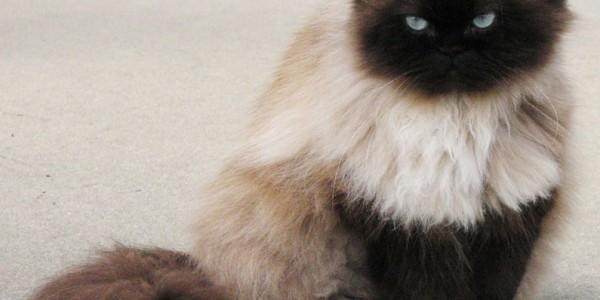 Гималайская кошка перс