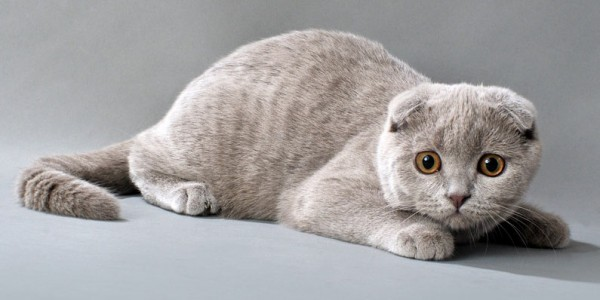 Шотландский вислоухий коте