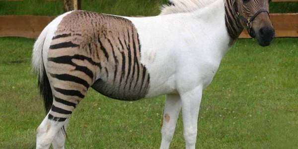 Кобыло зебра