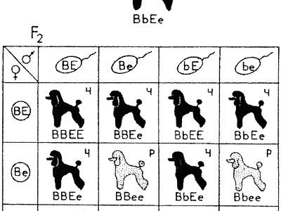 Комплементарное взаимодействие генов, определяющих окраску собак: соотношение — 9 черных (Ч): 3 коричневых (К): 3 рыжих (Р): 1 палевая (П)