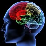 Влияние анатомии головного мозга на восприятие мира