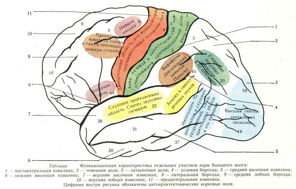 Функциональная характеристика отдельных участков коры мозга