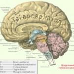 Размеры головного мозга живых существ