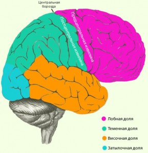 В каждом полушарии мозга есть четыре доли