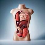 Регенерация органов и тканей человека