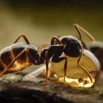 Как устроена муравьиная колония?
